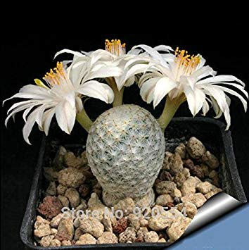 VISTARIC 8: 100 Pcs vrai Cactus Seeds, Mini Cactus, Figuier, Succulentes japonais Graines Bonsai Fleur, Plante en pot pour jardin 8