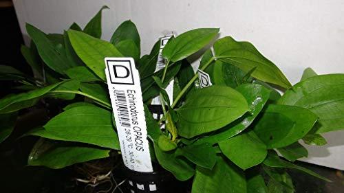Echinodorus Opacus - TOP Rarity - Aquarium Pflanze