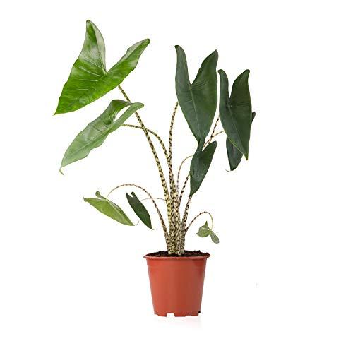 Sense of Home Zimmerpflanze Elefantenohr Alocasia Zebrina - trendige & pflegeleichte Indoorpflanze mit großen Blättern - Liefergröße ca. 65-85 cm