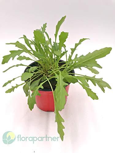 Rucola Diplotaxis tenuifolia Gemüse Pflanze 3stk.