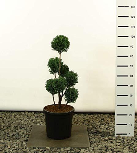 Kegelzypresse-Gartenbonsai-Pon Pon-Formschnitt - Chamaecyparis lawsoniana Elwoodii - Gesamthöhe 60-80 cm - Topf 18 Ltr. Multibol