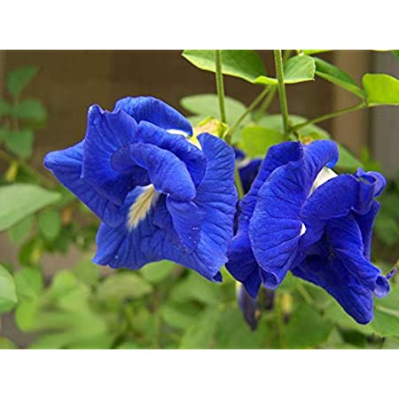 100 Seed BUTTERFLY PEA Clitoria Ternate Key West Florida Garden Flower Blue Vine