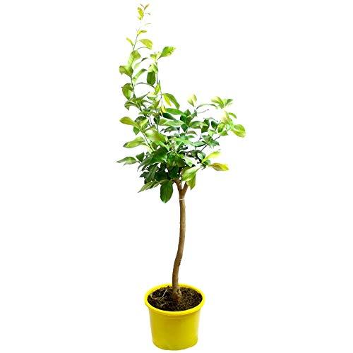 Verdecora - Limonero maceta 10 litros - Maceta 10 litros