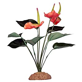 Komodo Anthurium Bush, 29 cm