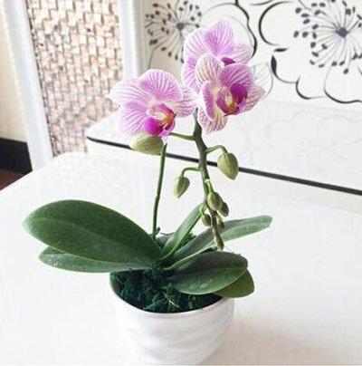 Fleur exotique Orchidée Graines Cattleya Multicolor Papillon Orchidee Bonsai Monoflord Mini jardin plante facile à cultiver 200 pcs/sac 10