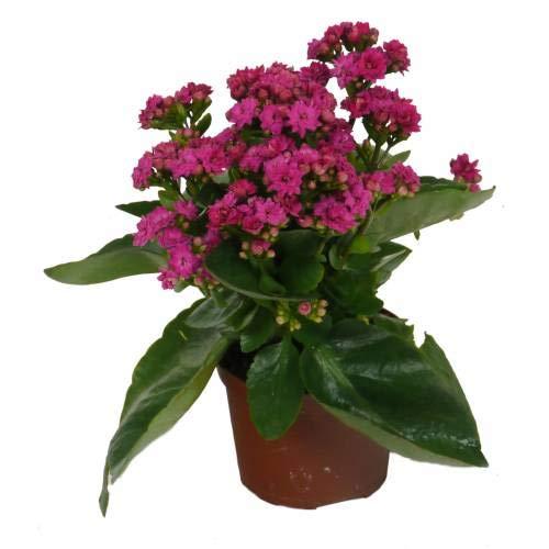 Kalanchoe Planta Natural Con Flor Colores Surtidos - Planta Decorativa y Ornamental