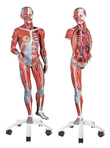 3B Scientific menselijke anatomie - spierfiguur op metalen statief met 5 wielen, tweevoudig, 45-delig + gratis anatomiesoftware - 3B Smart Anatomy