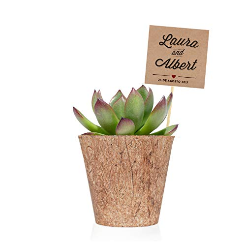 Pack de 36 plantas suculentas echeveria Bio - Detalles de boda personalizados...