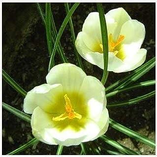 Go Garden una PC Bulbos de flor de azafrán, bulbos de azafrán de azafrán, son los bulbos de azafrán (no flor) para la flor de la planta de jardín de casa: otro