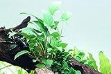 *Tropica Aquarium Pflanze Anubias gracilis Wasserpflanzen Aquarium Aquariumpflanzen Topf Nr.101D