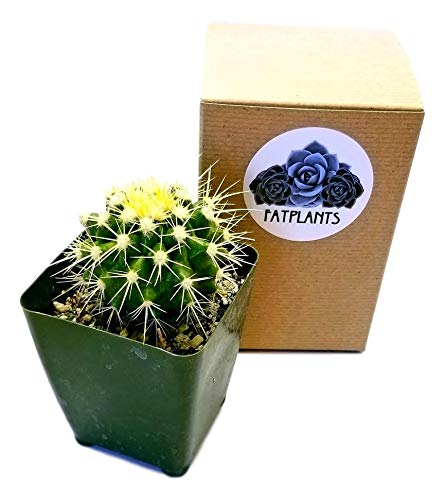 FATPLANTS Cactus Plants in Gift Box | Rooted in 4 inch Planter Pots with Soil | Living Indoor or Outdoor Plants (Golden Barrel)
