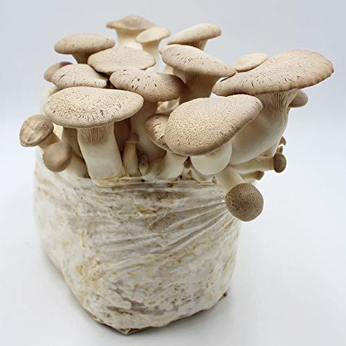 Pilzmännchens Bio Kräuterseitling Pilzzucht Kultur klein - Pilze einfach selber züchten - in bester Bio Qualität