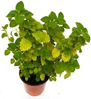 Incienso o planta del dinero matizada (Maceta 10,5 cm Ø) - Planta viva de interior