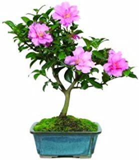 "Brussel`s Live Camellia Hot Flash Outdoor Bonsai Tree - 10"" to 14"" Tall with Decorative Container"