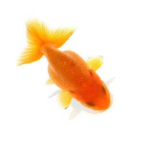 (国産金魚)らんちゅう(ランチュウ)(3匹)