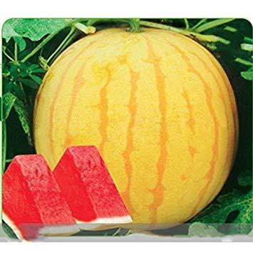 Shopvise (peau jaune rouge * Ambizu *) Heirloom Huang Pi Qiu 'peau jaune rouge pastèque sans pépins, graines Paquet professionnel, 5 graines