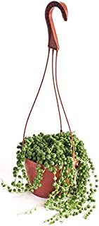 Shop Succulents | Perfect String of Pearls Succulent Plant, Hanging Baskets or Trailing Planters, 6