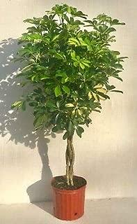 1 Umbrella Tree Gold Capella Live Braided Schefflera Arboricola Plant Rare MHWK15