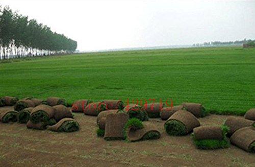 Semences à gazon frais Vert doux Runner Natural Plant de semences à gazon