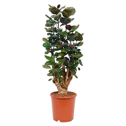 Pflanzen Kölle Fliederaralie, Polyscias 'Fabian', stammbildend, Topf 24 cm, Höhe ca. 120 cm