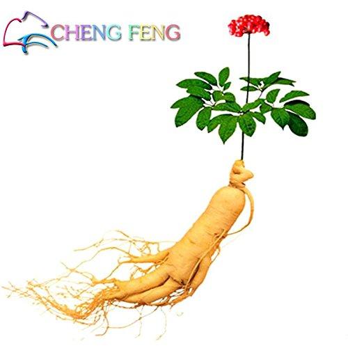 10pcs emballage d'origine chinoise Hardy Panax Ginseng Corée Ginseng Graines roi de plantes Herbes Accueil Haute-nutrition fruits et légumes