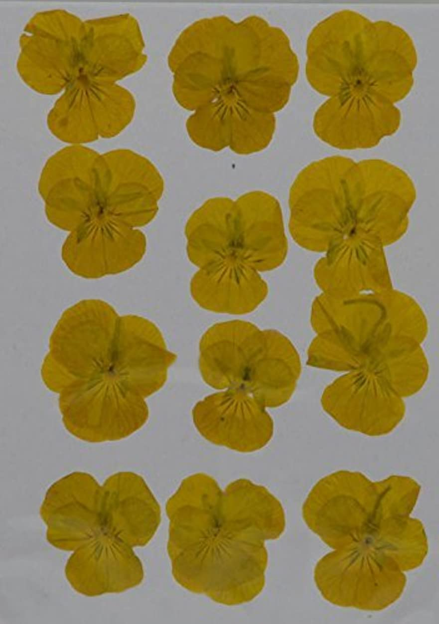 LoveDiyLife Yellow Hydrangea real pressed dried flowers xhbk406148552