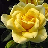 Happy Birthday - 5.5lt Potted Patio Garden Rose Bush - Bright Lemon Yellow, Repeat Flowering - Great Birthday Present