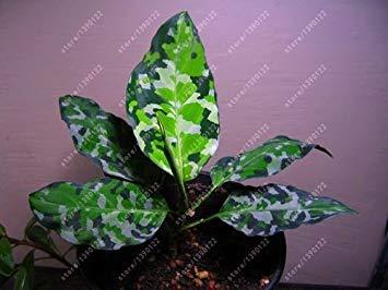 Fash Lady 50 Stück/Beutel Aglaonema 'Pink Dud', schöne Mosaik Pflanzen mehrjährige immergrüne Bäume Blumensamen, Houseplant Hausgarten vergossen