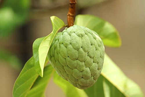 Annona squamosa 5 Samen- Zimtapfel Samen
