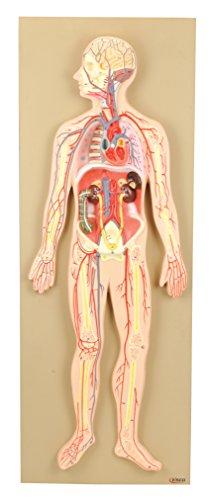 Eisco Labs Premium Anatomical Model Human Circulatory System, Half Life Size (30' Length)