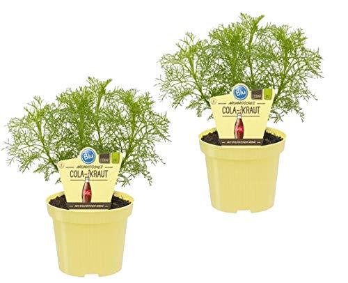 Bio Aromatisches Cola-Kraut, (Artemisia abrotanum var. maritima), Kräuter Pflanzen aus nachhaltigem Anbau