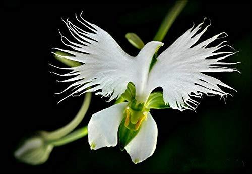Graines de radiate japonaises gaze blanche rare orchidée du monde Orchidée fleurs blanches orchidées maisons et jardins plantation
