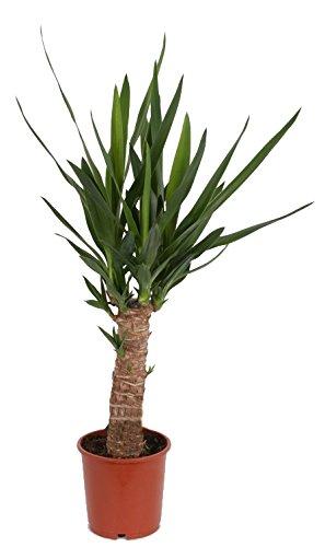 Yucca-Palme, Palm-Lilie, (Yucca elephantipes), 1 Stamm, ca. 40-60 cm hoch, Zimmerpflanzen, Kübelpflanzen, Palme