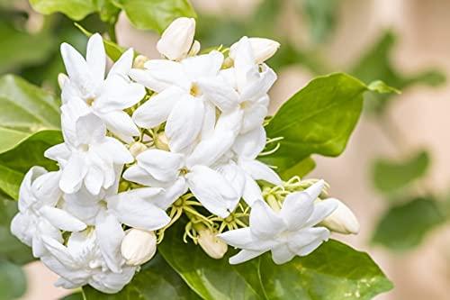 Semillas de jazmín hierba perenne Plantas resistentes Planta exterior Flores ornamentales Flores mayores-500 pcs