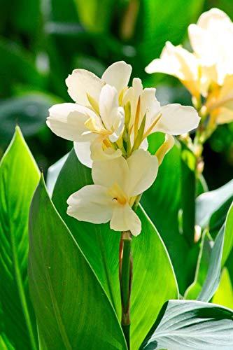 Canna Lilys Blumenzwiebeln, Wurzelanhänger, seltene Arten, dekorativ, wiederblühend, Innenhofbeständig, mehrjährig, 2 Canna-Lilienzwiebeln