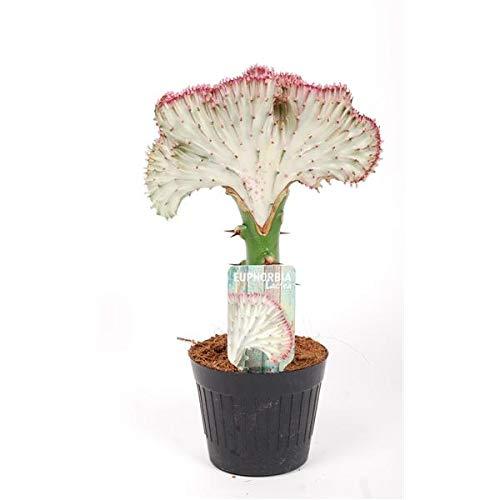 EUPHORBIA Lactea CRISTATA 30-35 cm ROT Zimmerpflanze Kakteen Sukkulent Kammartig Wellenartig Einzigartig unikat