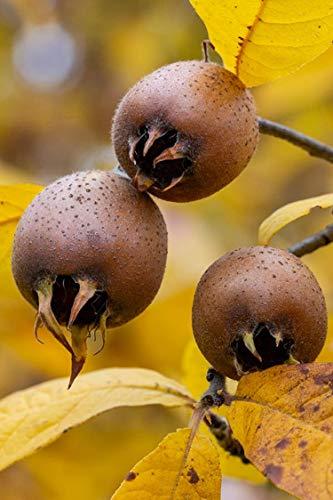 Albero di Nespolo varietà Di Germania pianta di Nespolo Germanico Età 2 anni pianta da vaso di nespole pianta vera di nespola venduta da eGarden.store