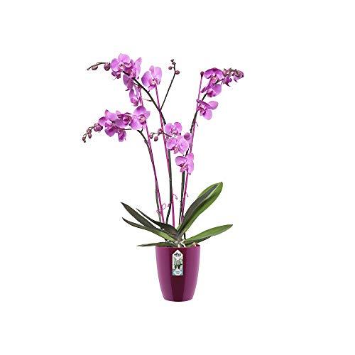 Elho - 2054496 - Brussels Diamond, Vaso per orchidee, altezza: 12,5 cm, colore: Viola