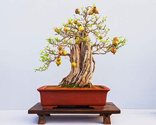 10 Pcs Pomegranate Seeds,Pomegranate Tree,Bonsai Fruit Seeds for Home Garden Plants