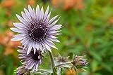 Purpur-Distel 10 Samen (Berkheya purpurea)