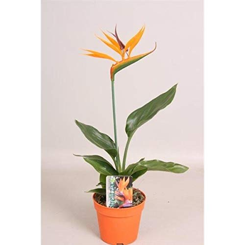 Strelitzia reginae 25cm+/- Paradiesvogelblume