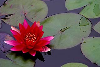 Water Lily 20 Seeds - Nymphaea - Mixed Colors