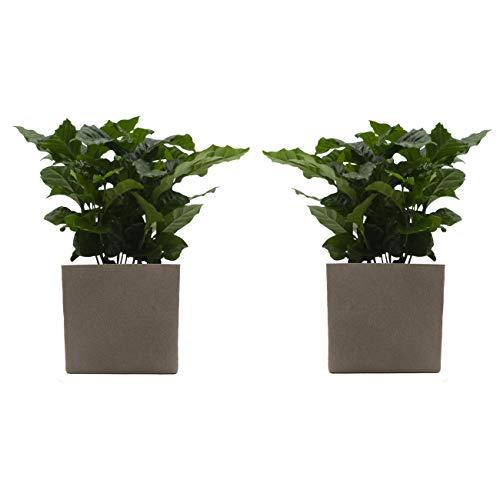 Kaffee-Pflanzen-Duo mit Keramik-Blumentopf