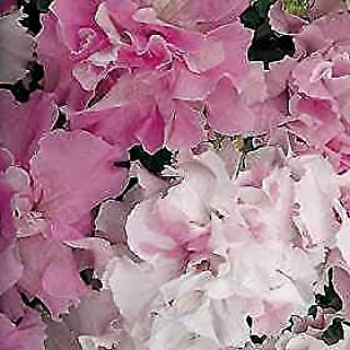 Petunia-Double Cascade Pink 1,000 Seeds Need More? Ask