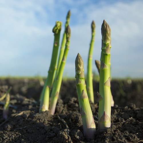 C-LARSS 100 Unids/Bolsa Semillas De Espárragos No OGM Fácil De Plantar Semillas De Hortalizas De Interior Al Aire Libre Frescas Y Hermosas Para Plantar Semillas de espárragos