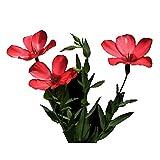Roter Flachs Blumensamen 30 Stück Linum lewisii Hibiskus Malvales Cannabinus Bio Frisch Massive Blüte Einfach zu züchtende Blütenpflanzen Samen zum Pflanzen Garten Garten Dekor