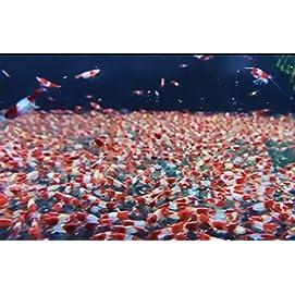 Rote Rili Garnele - Red Rili - Neocaridina davidi 3 Stk