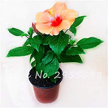 Virtue Zimmer Zierpflanze Mini Bonsai Hibiscus Samen, seltene Topfblumensamen, mehrjährige Blumen Garten Gewächshaus Pflanze 100 Stück 12