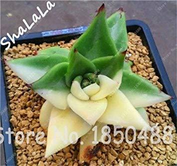 CUSHY 100 Garden Gewächshaus Samen Seltene Sukkulenten Samen, Bonsai Pot Seeds, absorbieren Indoor SEED 6