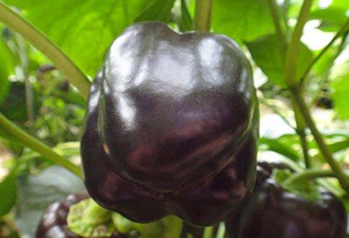 Graines New 200Pcs Black Tomato Tasty Nutritive Santé Légumes semences jardin d'ornement Plante en pot Bonsai Graines de fleurs